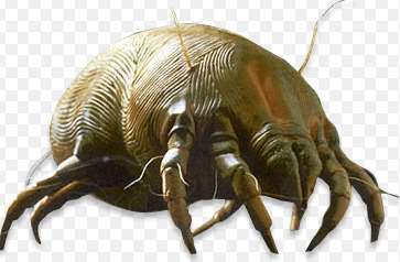 dust mite picture