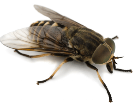 horse fly image